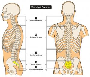 colonne vertebrale sacrum