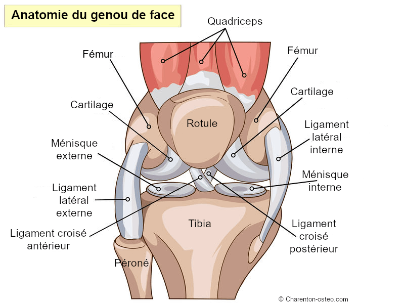 anatomie genou face